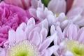 Chrysanthemen & Germinis