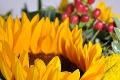 Frische Sonnenblumen