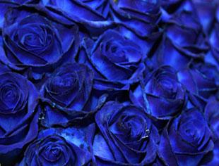 Blaue Rosen Beim Rosenbote Blaue Rosen Online Bestellen