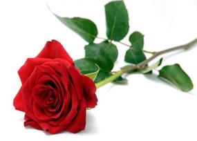 Frische Rose